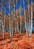 Autumn in the birch forest Stock Photography