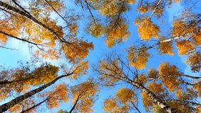 Autumn birch forest, trees sway in the wind on blue background, falling leaves stock video footage