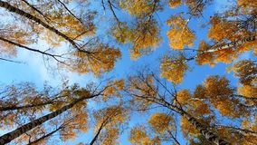 Autumn birch forest, trees sway in the wind on blue background, falling leaves stock footage