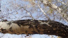 Autumn birch forest stock video