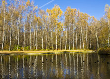 Autumn birch forest and water Stock Photography