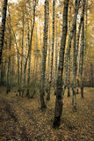 Autumn birch forest Royalty Free Stock Photography