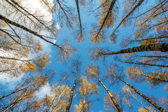 Autumn birch forest with yellow leaves on blue sky background, from the bottom up Royalty Free Stock Images