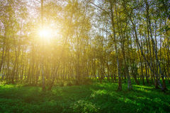 Autumn Birch Grove entre hierba verde Fotos de archivo libres de regalías