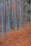 Autumn Birch grove in forest stock images