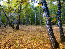 In the autumn birch grove Stock Photos