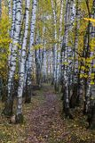 Autumn birch grove. royalty free stock image