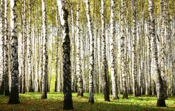 Autumn birch grove with sunlight and shadow in october evening Royalty Free Stock Image