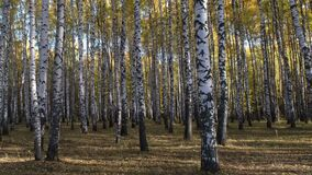 Autumn birch grove in sunny morning rays