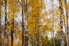 Autumn birch grove. Birch trees with yellow leaves stock images