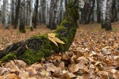 Autumn in a birch grove stock photos
