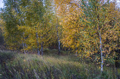 Autumn birch grove. Young birch trees in a bright yellow outfit leaves. In the foreground of the high grass royalty free stock photo