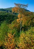 Autumn birch. Illustrations,woods landscape stock image