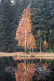 Autumn Birch by the Lake Stock Photography
