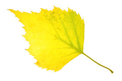 Autumn birch leaf isolated Stock Image