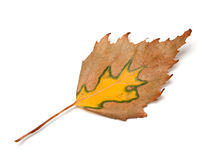 Autumn birch leaf Royalty Free Stock Photography