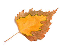 Autumn birch leaf Stock Photography