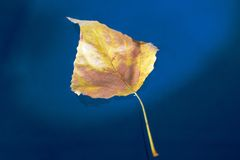 Autumn birch leaf on water Royalty Free Stock Photo