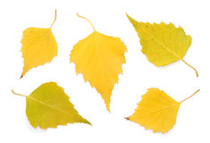 Autumn birch leaves. On white background Stock Image