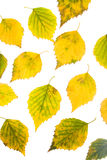 Autumn birch leaves Royalty Free Stock Photography
