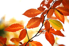 Autumn birch leaves against white background royalty free stock photography