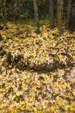 Autumn Birch Leaves Covering de Grond op een Regenachtige Dag stock foto