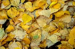 Autumn Birch Leaves Stock Images