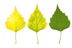 Autumn birch leaves. Isolated on white Royalty Free Stock Photo