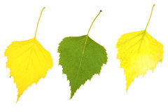 Autumn birch leaves. Isolated on a white Stock Image