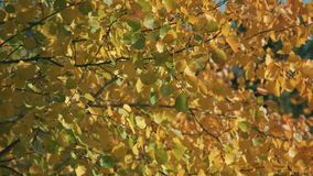 Autumn birch leaves on a tree in green, yellow, orange and red forest. Fall foliage in forest. Autumn colors. Flying stock footage