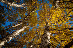 Autumn birch Royalty Free Stock Image