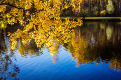 Autumn birch and reflection in water of pond Royalty Free Stock Image