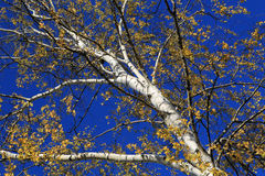 Autumn birch. Royalty Free Stock Image