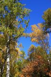 Autumn. Birch tops against blue sky Stock Photos