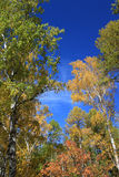 Autumn. Birch tops against blue sky Royalty Free Stock Photography