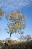 Autumn Birch träd på Muiren av Dinnet i Skottland Arkivbild