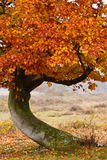 Autumn birch tree Royalty Free Stock Photography
