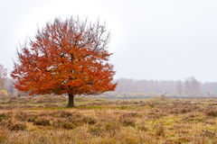 Autumn birch tree Royalty Free Stock Images