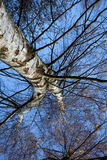Autumn Birch Tree Royalty Free Stock Photos
