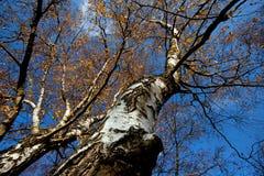Autumn Birch Tree Stock Photography
