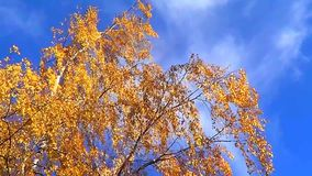 Autumn birch tree stock footage