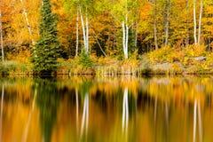 Autumn Birch Tree Reflections auf See-Bleiwurz Lizenzfreie Stockbilder