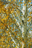 Autumn birch Stock Photos