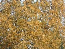 Autumn birch tree Royalty Free Stock Photo