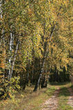 Autumn birch trees Royalty Free Stock Photos
