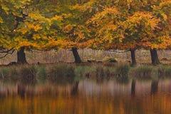 Autumn birch trees Royalty Free Stock Image