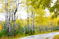 Autumn birch trees along the roadway. stock images