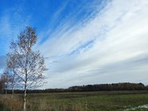 Birch trees in field Royalty Free Stock Photography