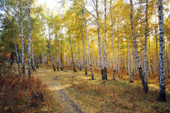Autumn birch trees forest Stock Images