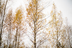 Autumn. Birch trees in the forest Stock Images